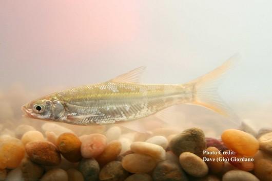 "Sacramento splittail, juvenile , approximately 10 cm (4"") long. Location: Suisun Marsh, California. Date: 8/6/2007."