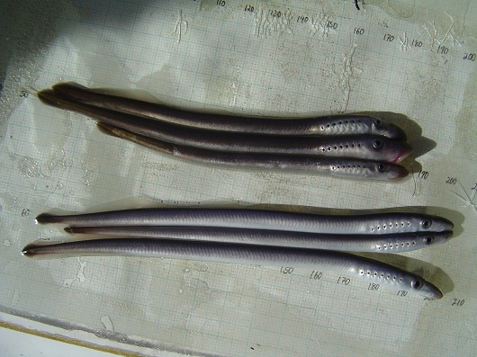 Pacific lamprey, captured in rotary screw trap on Sacramento River at Knight's Landing. Photo by Dan Worth, California Department of Fish and Game.