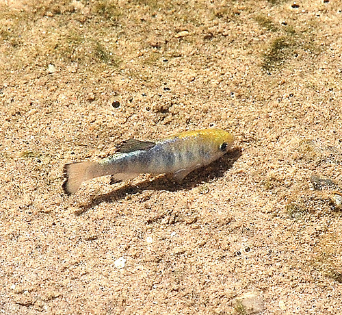 Salt Creek pupfish, male. Photographed at Salt Creek, CA (Death Valley National Park). Date: 4/18/09. Photo by Dr. Cynthia S. Shroba, College of Southern Nevada.