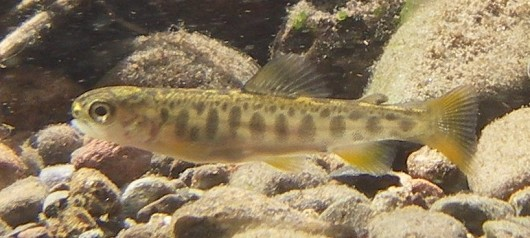 Brook trout fry, approximately 36 mm (1.5