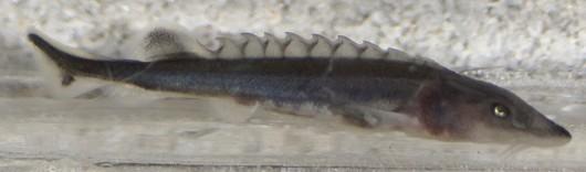 Green sturgeon, larvae, side view. Photo courtesy of Dennis Cocherell, UC Davis.
